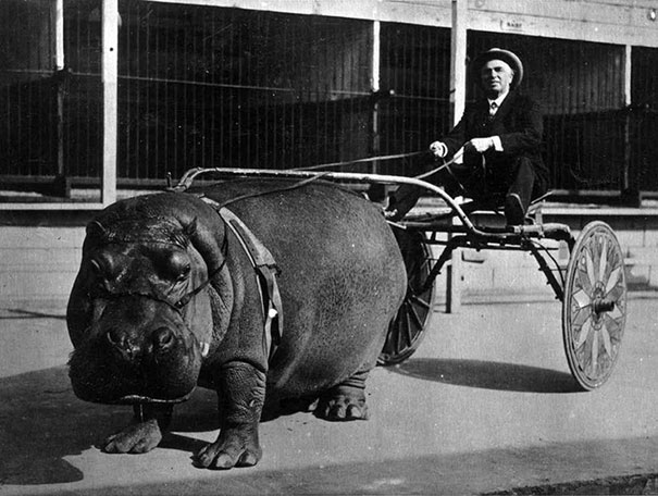 Hippo Pulling A Cart 1924